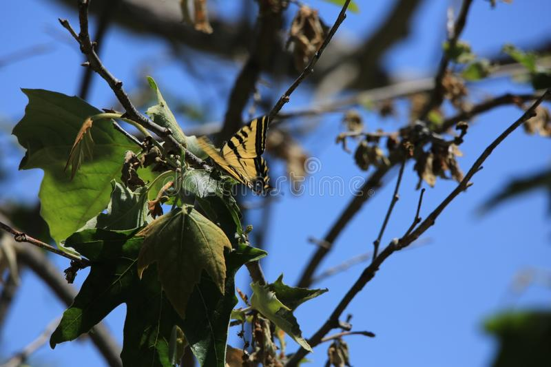 Tiger swallowtail butterfly tree. Beautiful black and yellow striped wing swallowtail butterfly lands in green leaf tree royalty free stock image