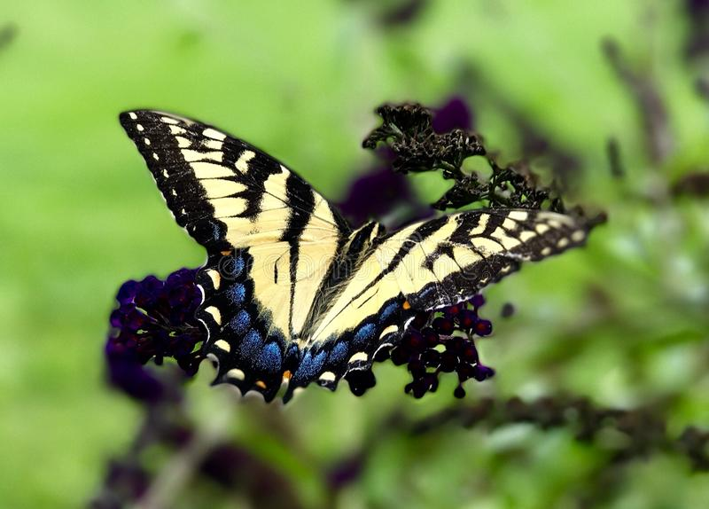 Tiger swallowtail butterfly. Yellow tiger swallowtail butterfly resting on a butterfly stock photo