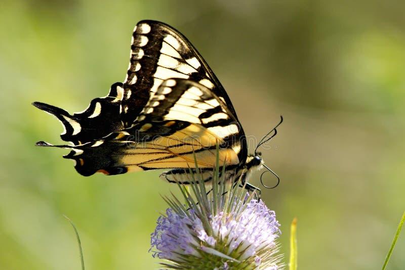 Tiger Swallowtail com probóscide ondulado imagem de stock
