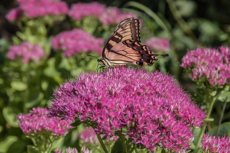 A Tiger Swallowtail feeding on a pink flower. A striking Tiger Swallowtail Butterfly collecting nectar on a pink flower in Wisconsin royalty free stock photography