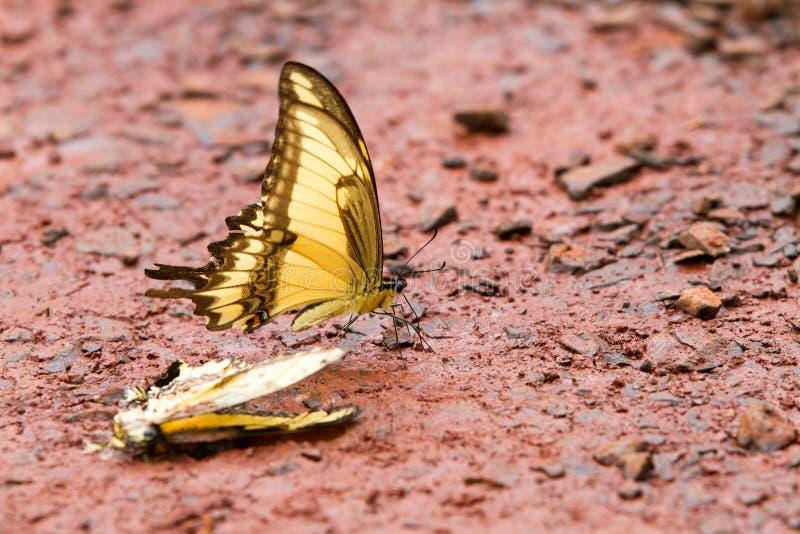 Tiger Swallowtail gulingfjäril royaltyfria foton