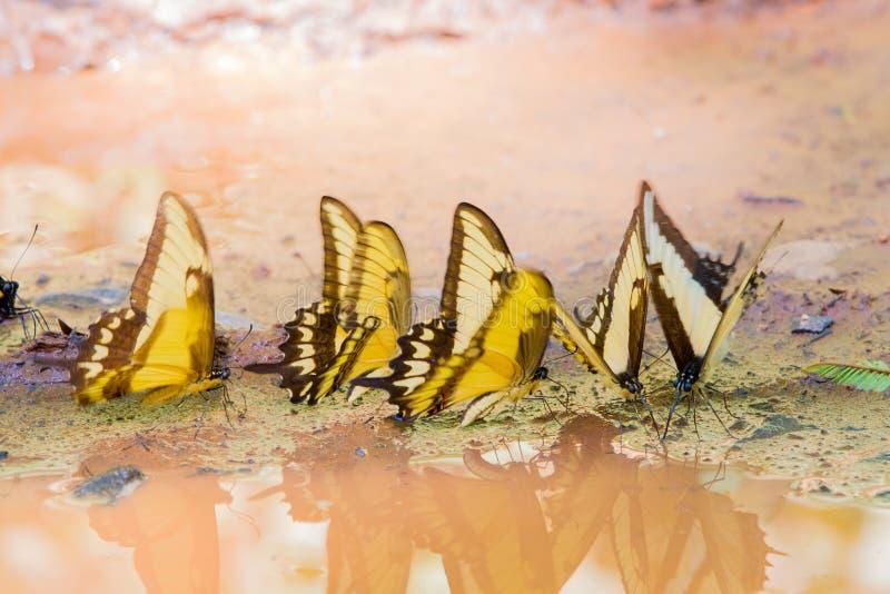 Tiger Swallowtail gulingfjäril royaltyfri fotografi