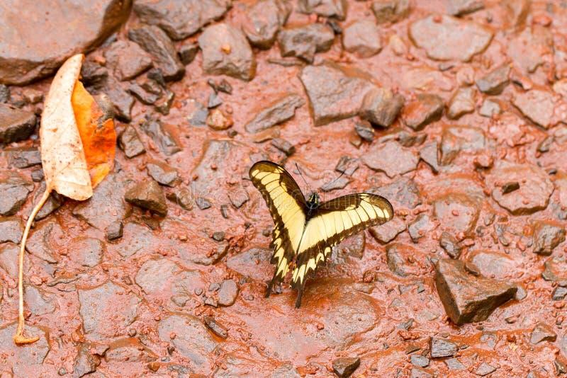Tiger Swallowtail gulingfjäril arkivfoton