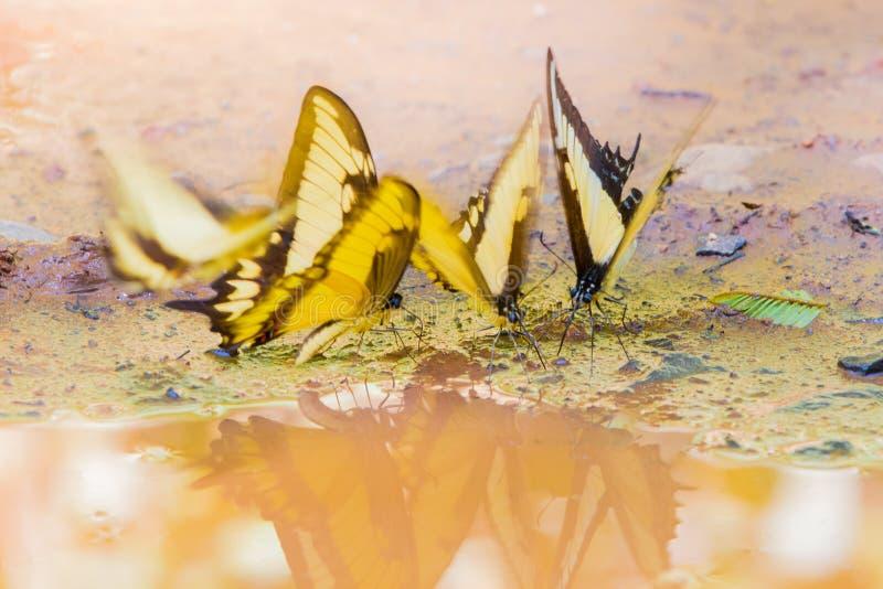 Tiger Swallowtail gulingfjäril arkivbilder