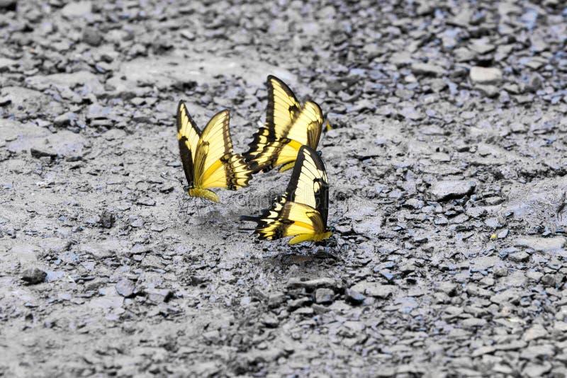Tiger Swallowtail gulingfjäril royaltyfria bilder