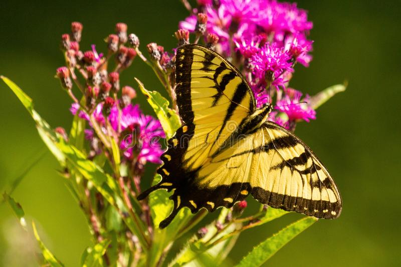 Tiger Swallowtail Male Dorsal View on Wildflower. A male tiger swallowtail is nectaring on a purple wildflower in Illinois presenting its dorsal view in this stock photography