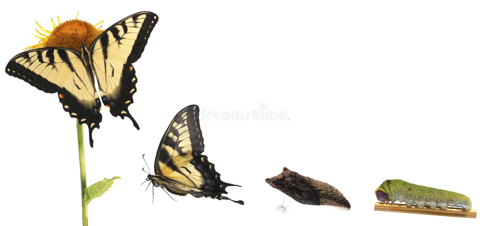 Tiger Swallowtail metamorphosis. Life cycle of the North American Papilio glaucus, showing caterpillar, chrysalis and adult butterfly stock images