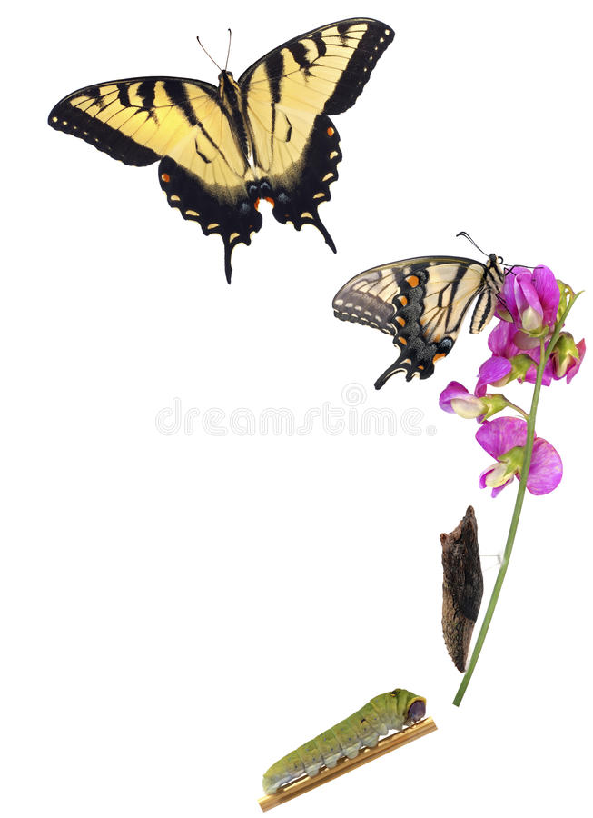 Tiger Swallowtail metamorphosis. Life cycle of the North American Papilio glaucus, showing caterpillar, chrysalis and adult butterfly royalty free stock image