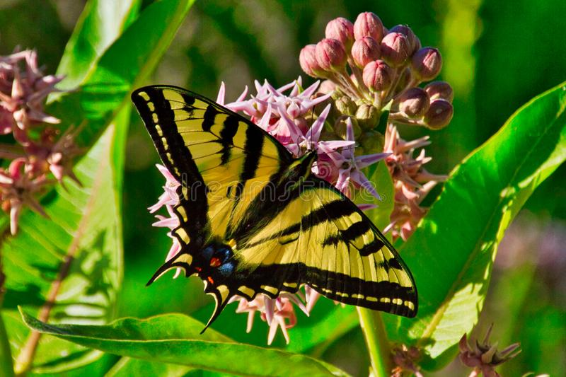 Tiger Swallowtail no Milkweed fotografia de stock