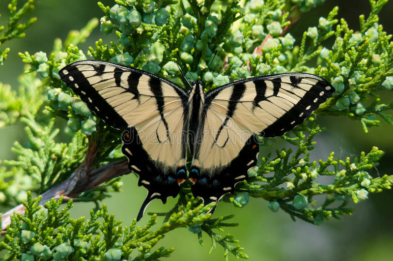 Tiger Swallowtail oriental imagem de stock royalty free