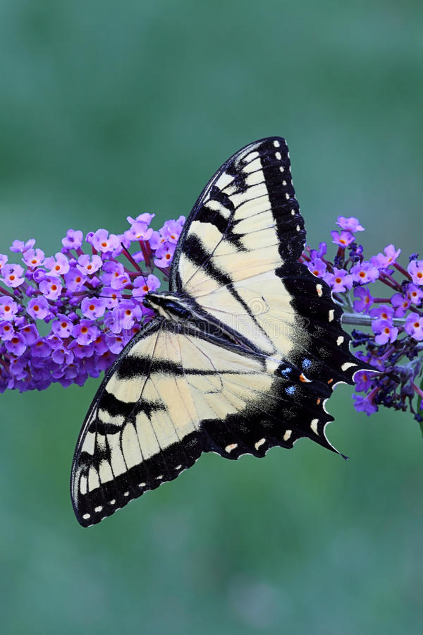 Free Tiger Swallowtail (papilio Glaucas) Butterfly Royalty Free Stock Photography - 15025027