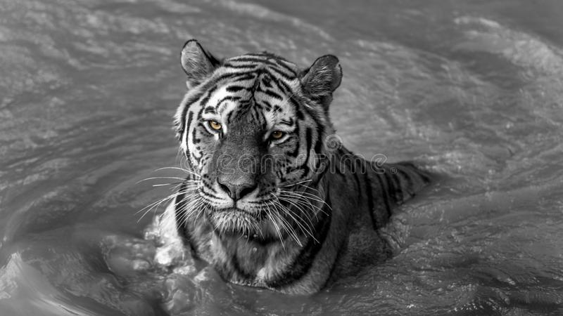 Tiger- swimming in selective color royalty free stock photo