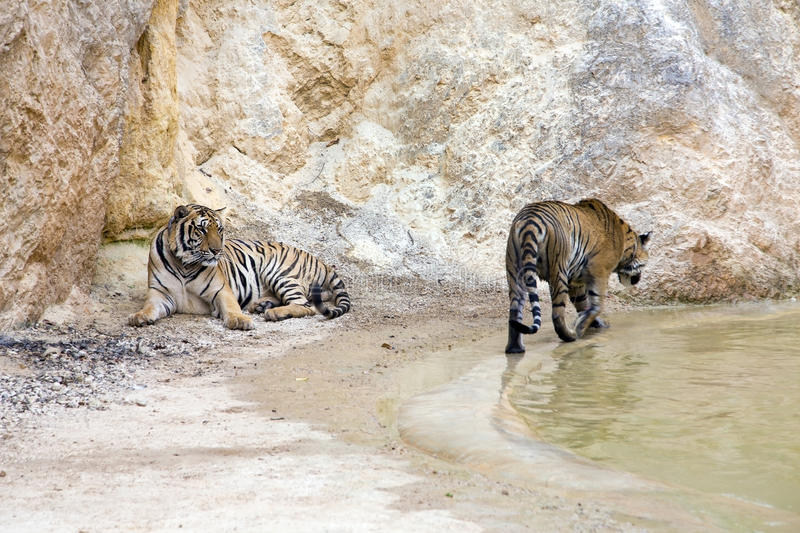 Tiger temple, animals by water stock image