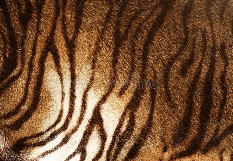 Tiger Texture royalty free stock image