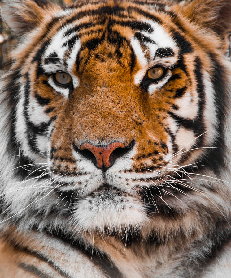 TIGER, Tigers face. Tiger face and eyes, Closeup portrait of a tigers face, tiger head royalty free stock image