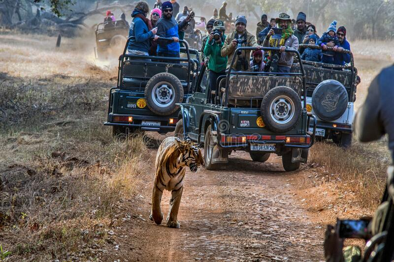 Tiger tourism and wildlife tourism at Tadoba Chandrapur near Nagpur Maharashtra. 04 Jan 2018 Tiger tourism and wildlife tourism at Tadoba Chandrapur near Nagpur stock photo