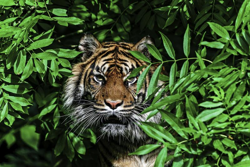 Tiger in a tree. Caplivity stock image