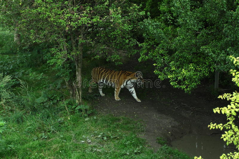 Tiger under tree stock photography