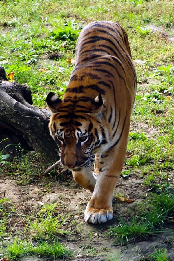 Tiger vänliga djur på den Prague zoo arkivfoton