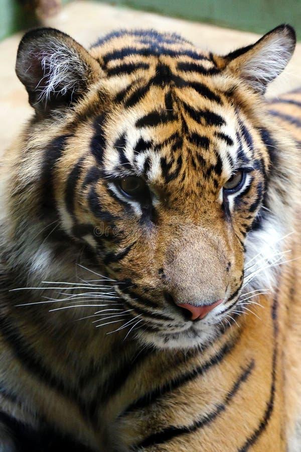 Tiger vänliga djur på den Prague zoo royaltyfri fotografi