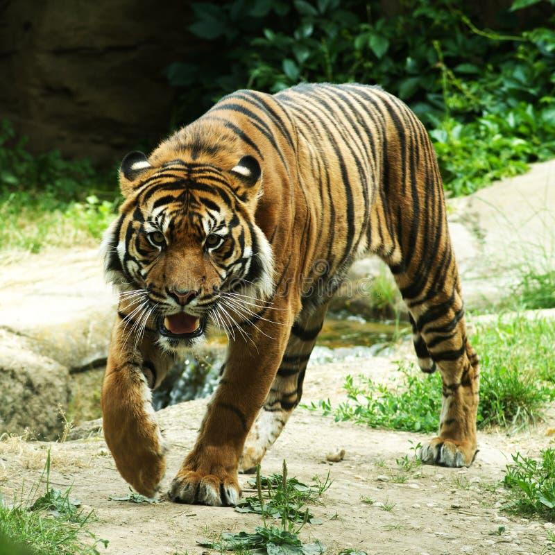 Tiger vor Angriff lizenzfreie stockbilder