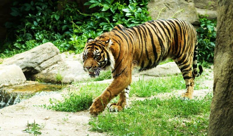 Tiger vor Angriff stockbilder