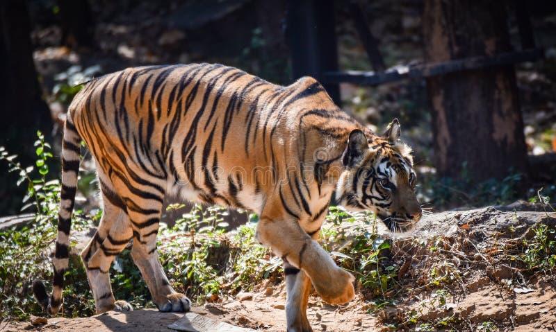 Tiger Walking royaltyfri bild