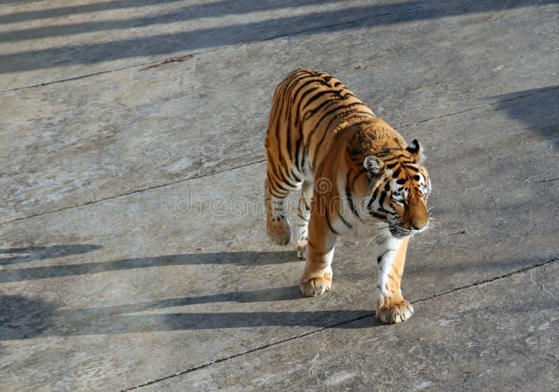 Download Tiger walking stock image. Image of siberian, mammal, jungle - 2148951
