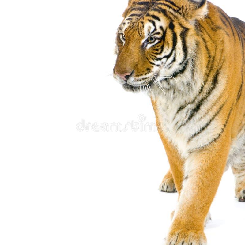 Tiger walking stock photography