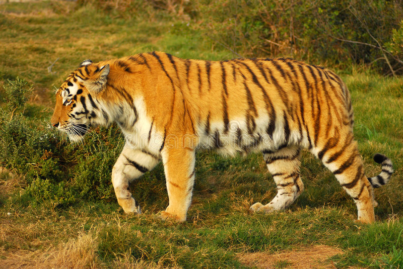 Tiger walking. Full body of a beautiful Siberian Tiger walking in the wild stock photography