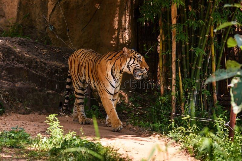 Tiger Walking arkivbilder