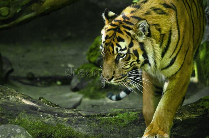 Tiger Walking Around selvaggio fotografie stock libere da diritti