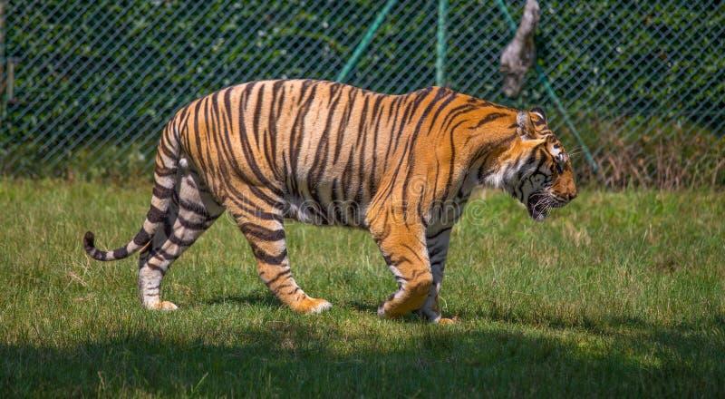 Tiger Walking auf dem Gras lizenzfreie stockbilder