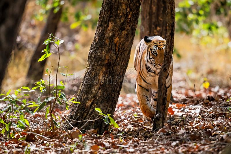 Tiger Bandhavgarh India. Tiger walking in the forest of Bandhavgarh National Park in India stock image
