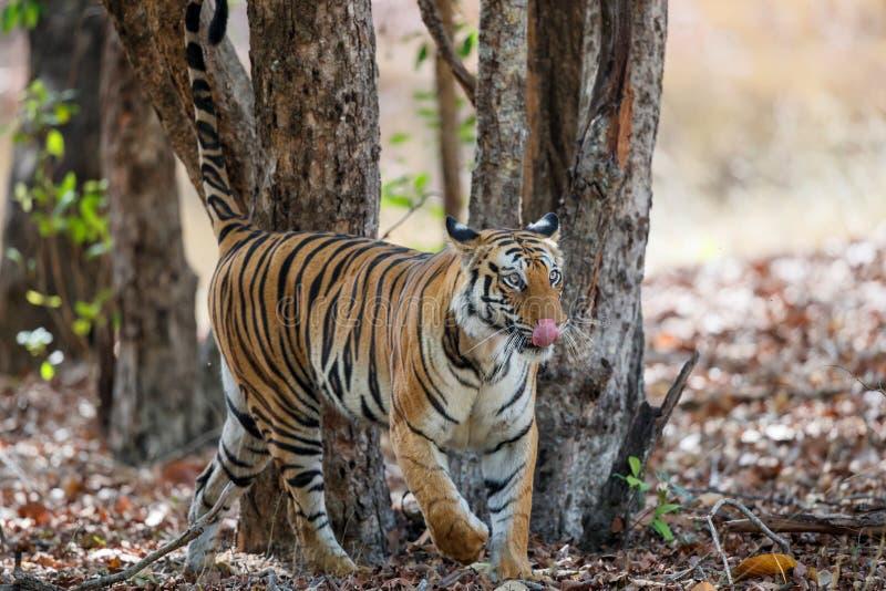 Tiger Bandhavgarh India. Tiger walking in the forest of Bandhavgarh National Park in India royalty free stock image
