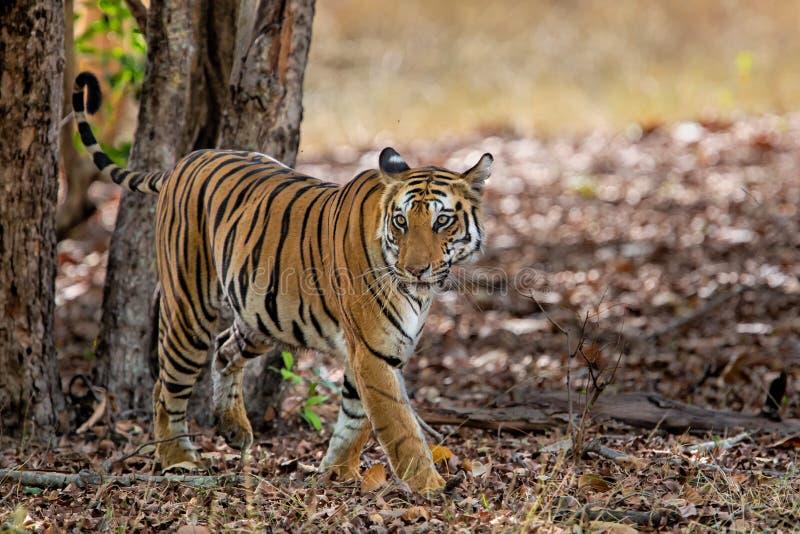 Tiger Bandhavgarh India. Tiger walking in the forest of Bandhavgarh National Park in India stock photo