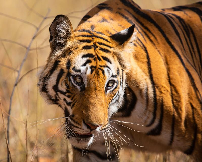 Tiger Bandhavgarh India. Tiger walking in the forest of Bandhavgarh National Park in India stock photography