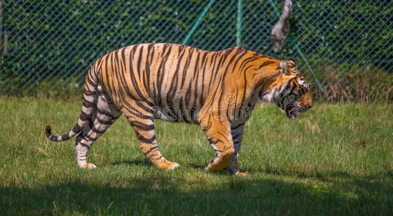 tiger walking on the grass. royalty free stock images