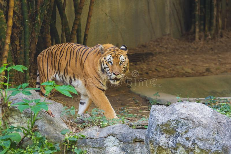 A tiger walking. And look straight royalty free stock photography