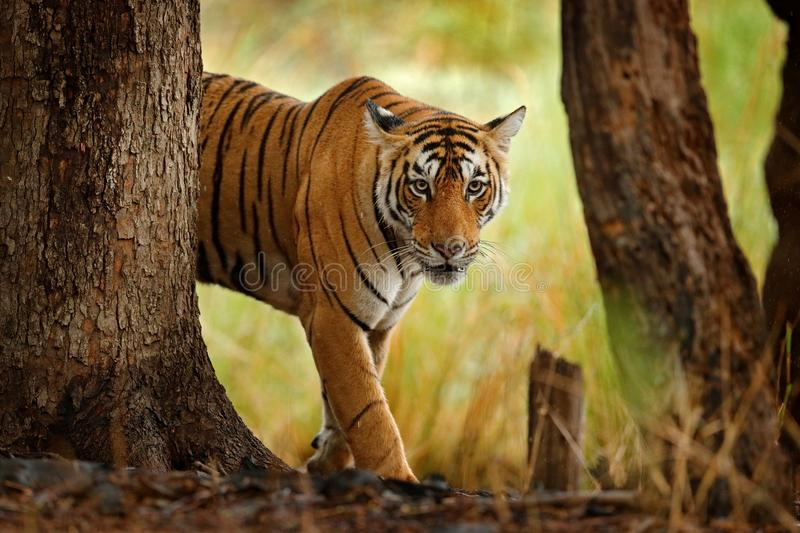 Tiger walking in old dry forest. Indian tiger with first rain, wild danger animal in the nature habitat, Ranthambore, India. Big c. Tiger walking in old dry royalty free stock photo