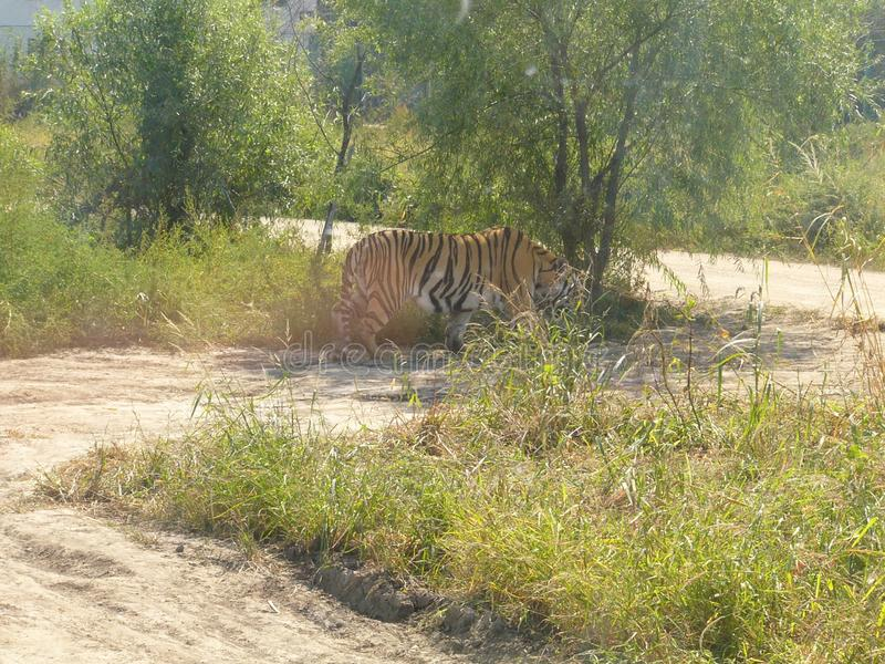 Tiger walking in the sand royalty free stock images