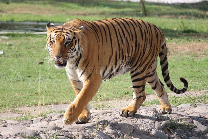 TIGER IS WALKING. A Tiger is walking in sunny day with full energy royalty free stock photography