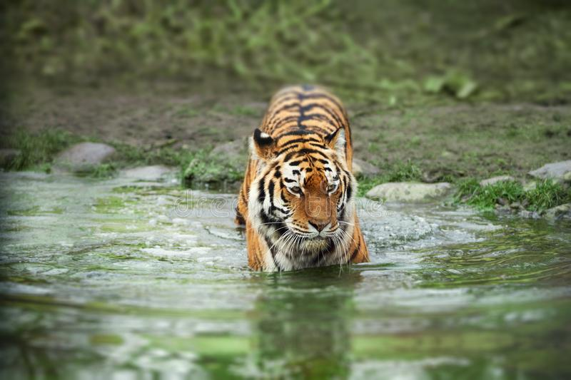 Tiger walking into the water. Nature and animal welfare concept royalty free stock images