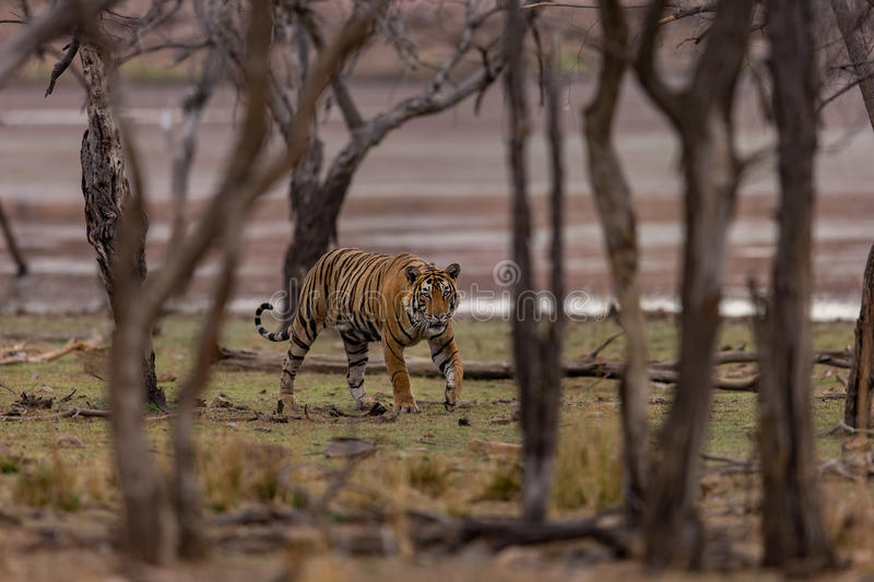 Tiger walking through woods, India. Tiger walking through woods in wilds of India royalty free stock photo