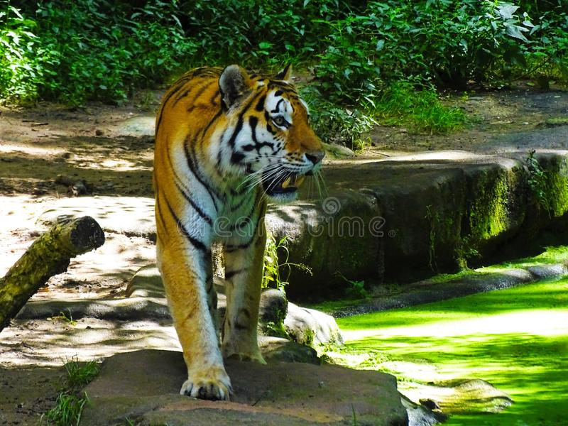 Tiger walking in zoo Augsburg in germany. royalty free stock image