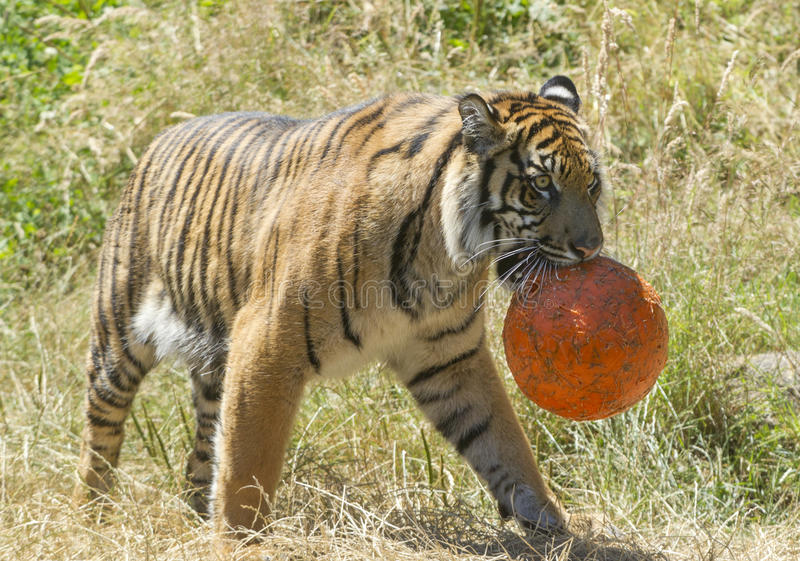 Tiger walks with ball. A tiger at the point defiance zoo plays with a ball royalty free stock image
