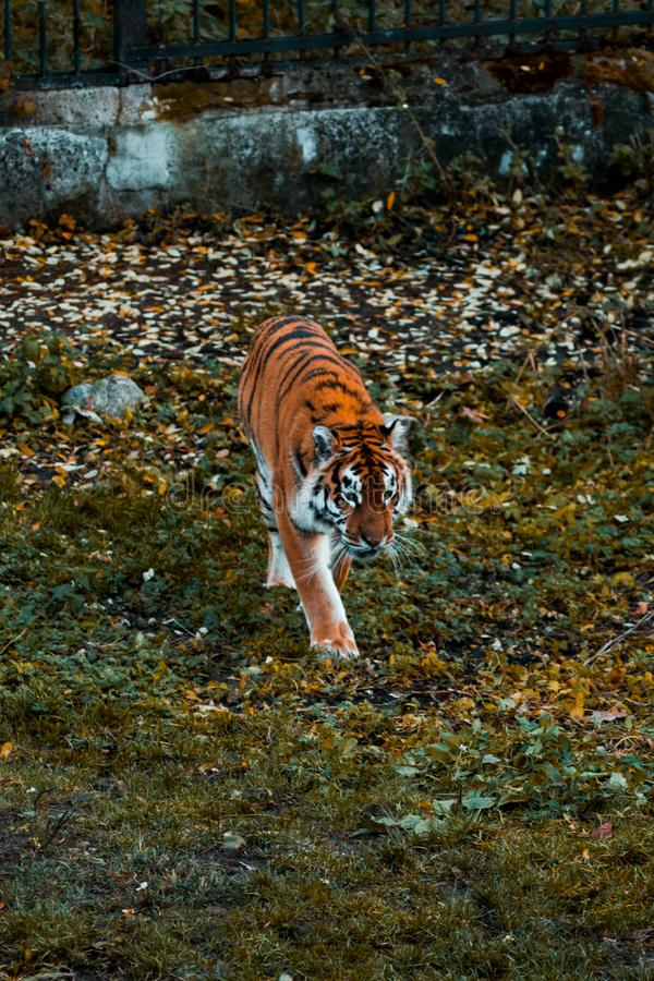 Tiger walks on the grass. Wild animal. In park cat walking jungle beautiful beauty carnivore feline large mammal natural nature stripes wildlife india bengal royalty free stock photography