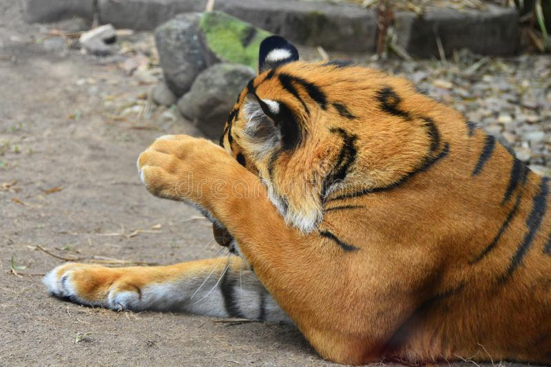 Tiger washing its face lying down. Paw over face orange and black stripes royalty free stock photo