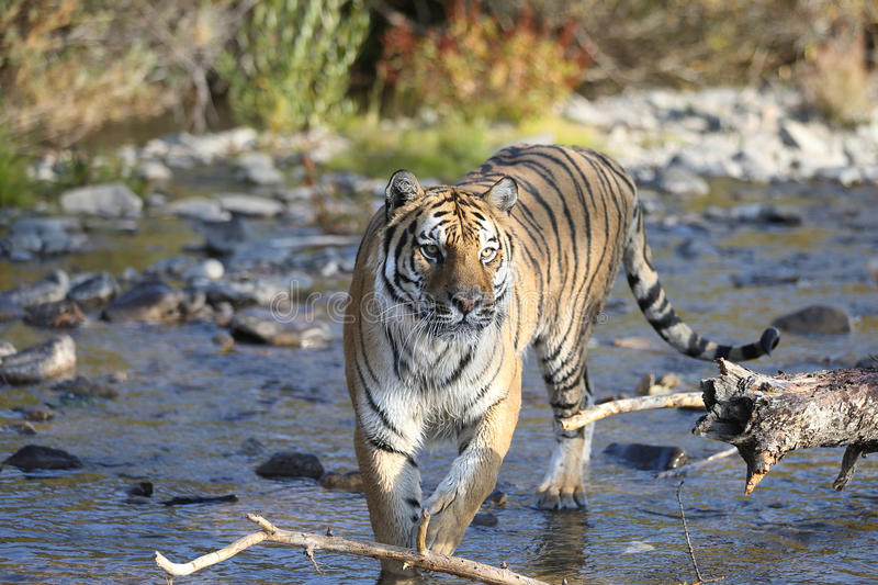 Download Tiger in water stock image. Image of striped, teeth, jungle - 26810873