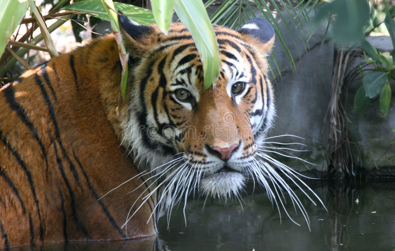 Tiger in Water 3 royalty free stock photos